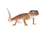 Studio portrait on white of a Namibian Giant Ground Gecko.  (Chondrodactylus angulifer)