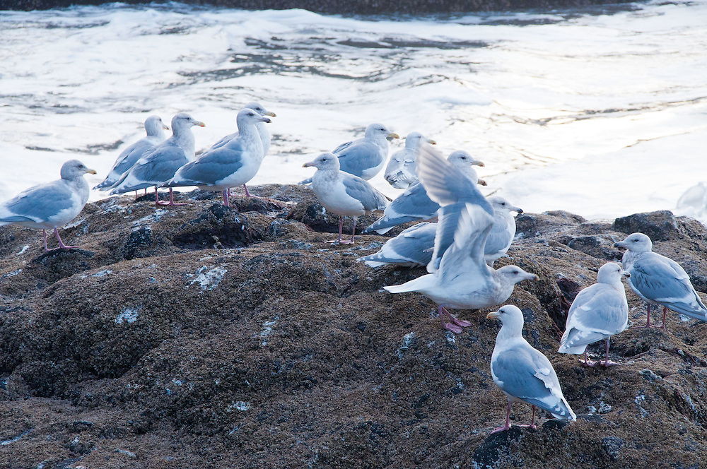 Gulls at North Head at Cape Disappointment State Park, Ilwaco, Washington, US