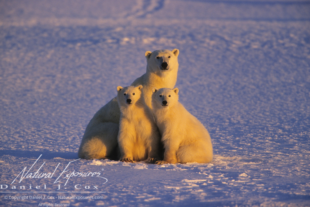 Polar Bear mother with her cubs on frozen Hudson Bay. Canada