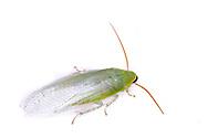Green Banana Cockroach or Cuban Cockroach (Panchlora nivea)<br /> TEXAS: Jasper Co.<br /> Brookeland/Lake Sam Rayburn KOA @ 505 Co Rd 212<br /> 31.141606, -93.994174<br /> 21.May.2015<br /> J.C. Abbott #2733 & K.K. Abbott