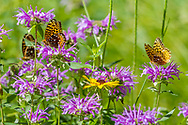 Butterflys and wildflowers: fritillary butterflys feeding on horsemint blossoms, with a black-eyed Susan blossom, mountain meadow, Jemez Mountains, NM. © 2010 David A. Ponton