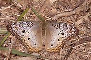 White Peacock (Anartia jatrophae)<br /> TEXAS: Victoria Co.<br /> Saxet Lake; Victoria<br /> 14.Nov.2009<br /> J.C. Abbott