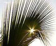 Sunburst through a palm frond
