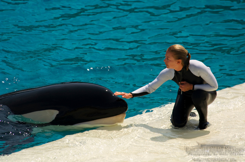 Trainer communicating with Killer Whale (orcinus orca) while performing tricks during show at Sea World, near San Diego, California