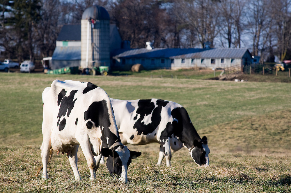Two cows grazing on a farm