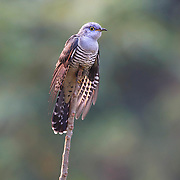The Himalayan cuckoo (Cuculus saturatus) is a species of cuckoo in the genus Cuculus. It breeds from the Himalayas eastward to southern China and Taiwan. It migrates to southeast Asia for the winter.