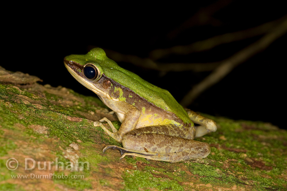 A treefrog photographed in Malaysia's Endau-Rompin National Park.
