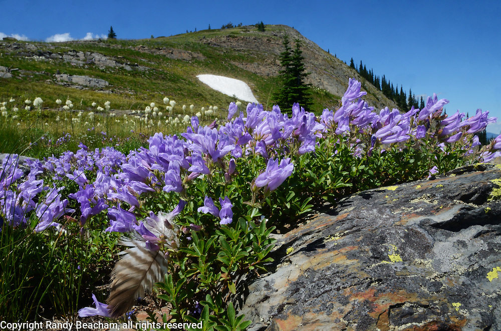 Mountain bluebells and a bird feather below Grizzly Peak in summer. Grizzly Peak Roadless Area in the Kootenai National Forest. Purcell Mountains, northwest Montana.