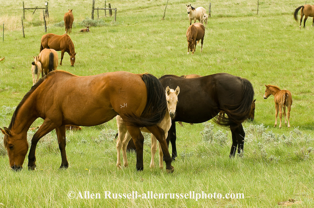Quarter Horses, mares and foals, foal hides behind mother<br /> PROPERTY RELEASED