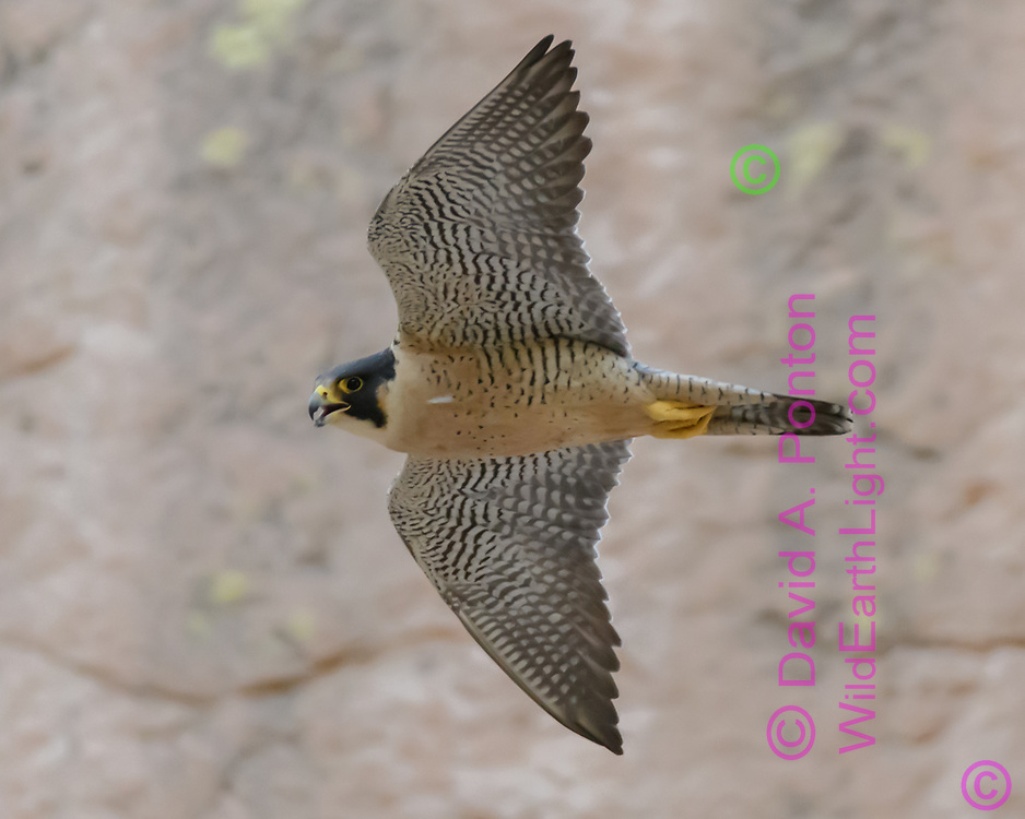Adult Peregrine falcon in flight along cliff face, © 2017 David A. Ponton, [Prints to 8x10, 16x20, 24x30, or 40x50 in. with no cropping]