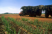 Immature sugar cane plantation  and truck transporting sugar cane to ethanol processing plant in cerrado (savanna) region being devastated, Sao Paulo State, Brazil