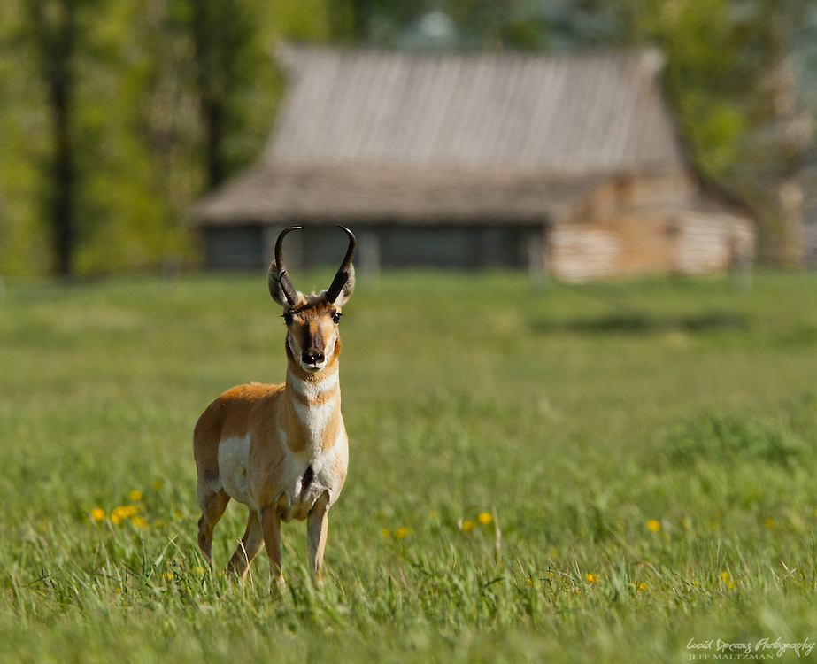 A curious pronghorn poses for a portrait in front of the south Moulton Barn, Antelope Flats, Grand Teton National Park