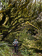 Lush green vegetation tangles over a hiker tramping in Taranaki / Mount Egmont National Park, North Island, New Zealand.