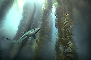 Blue Shark in Kelp Forest Catalina California USA<br />