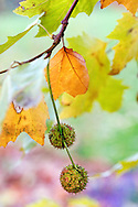 Platanus × hispanica (London plane, maple-leaved plane) foliage and seed. RBG Kew, Richmond, Surrey, England.