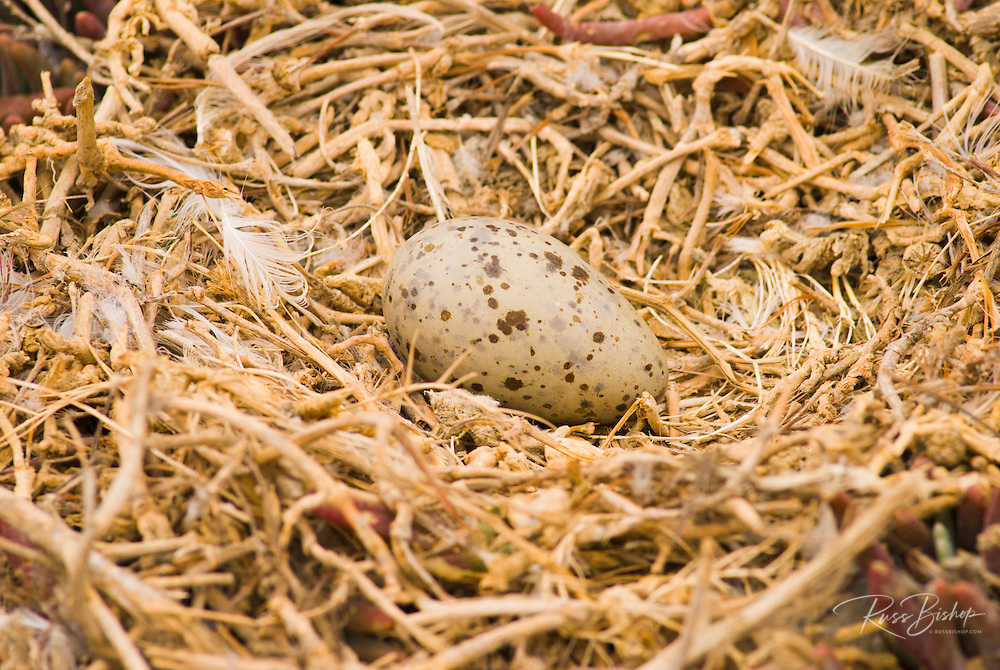 Western gull eggs (Larus occidentalis), Anacapa Island, Channel Islands National Park, California