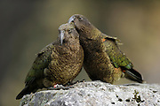 Kea (Nestor notabilis) Arthur's Pass, New Zealand | Kea oder Bergpapagei (Nestor notabilis) - Keas verpaaren sich lebenslang mit dem selben Partner. Die gegenseitige Federpflege verstärkt diese Bindung. Arthur's Pass, Neuseeländische Alpen, Neuseeland.