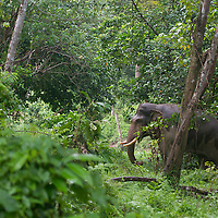 Elephant de Sumatra sauvage en p&eacute;riode de musth dans la for&ecirc;t, Elephas maximus sumatranus, Province d'Aceh, Sumatra, Indon&eacute;sie<br /> <br /> L&rsquo;&eacute;l&eacute;phant de Sumatra, Elephas maximus sumatranus, end&eacute;mique des for&ecirc;ts de Sumatra, est une sous-esp&egrave;ce de l&rsquo;&eacute;l&eacute;phant d&rsquo;Asie. L&rsquo;&eacute;l&eacute;phant de Sumatra est en voie d&rsquo;extinction. Depuis 2011 Il a &eacute;t&eacute; plac&eacute; par l&rsquo;UICN sur la liste rouge des esp&egrave;ces menac&eacute;es en tant qu&rsquo;&laquo; esp&egrave;ce en danger critique &raquo;. La p&eacute;riode de musth est un &eacute;tat de surexcitation sexuelle qui rend les males beaucoup plus agressifs, caract&eacute;ris&eacute; par une s&eacute;cr&eacute;tion au niveau de la tempe