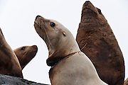 A Steller's Sea Lion, Eumetopias jubatus, suffers an agonizing, slow death as fishing line slowly cuts into its flesh.
