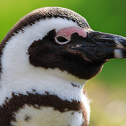 Profile photo of an endangered African penguin (Spheniscus demersus)
