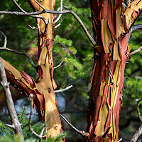 Colorful bark peels on the trunk of a Pacific madrone, or Arbutus menziesii, at Sucia Island Marine State Park in the San Juan Islands of Washington State.
