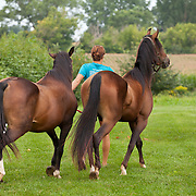 Person leads two bay Arabian horses in green pasture