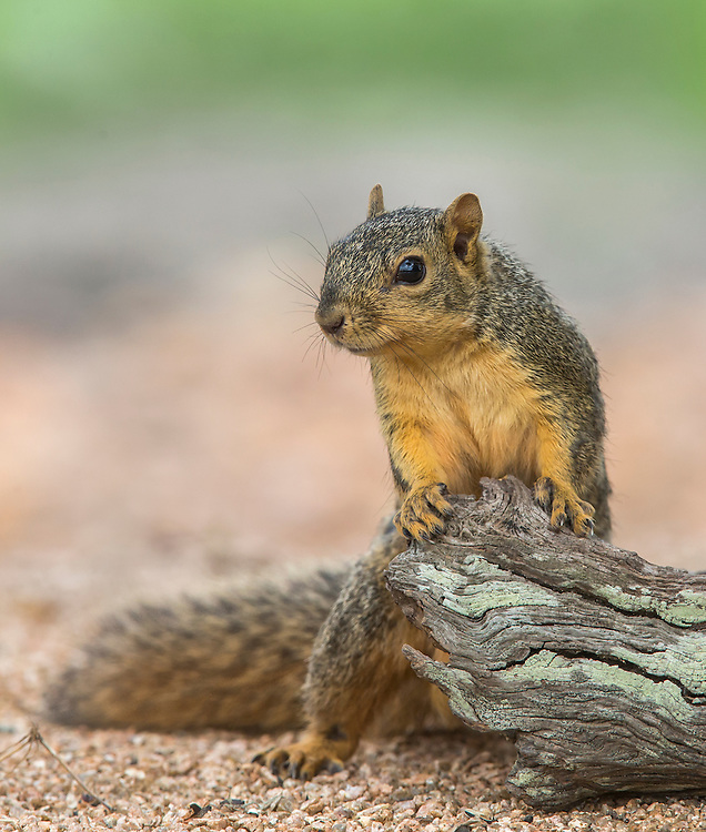 Fox Squirrel, Sciurus niger;<br /> Photographer:  Stephen Fisher<br /> Property: Texas Photo Ranch / River Revocable Surface, LLC-River Testamentary Surface, LLC<br /> Refugio County