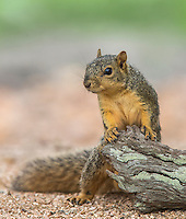 Fox Squirrel, Sciurus niger;<br />
