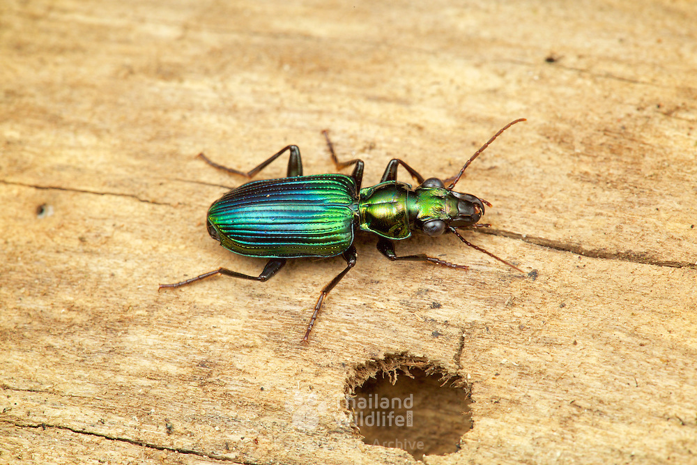 Catascopus sp. Carabidae beetle. Kaeng Krachan National Park, Thailand.