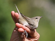 Garden Warbler, (Sylvia borin) held for ringing