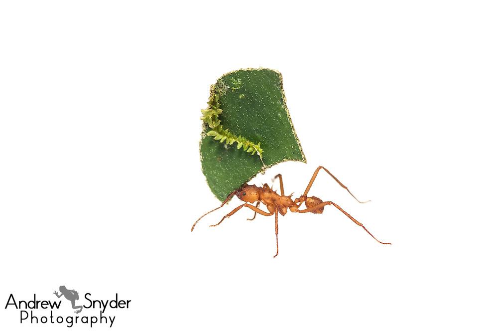 Leaf-cutter ant (Acromyrmex sp.) - Chenapau, Guyana.