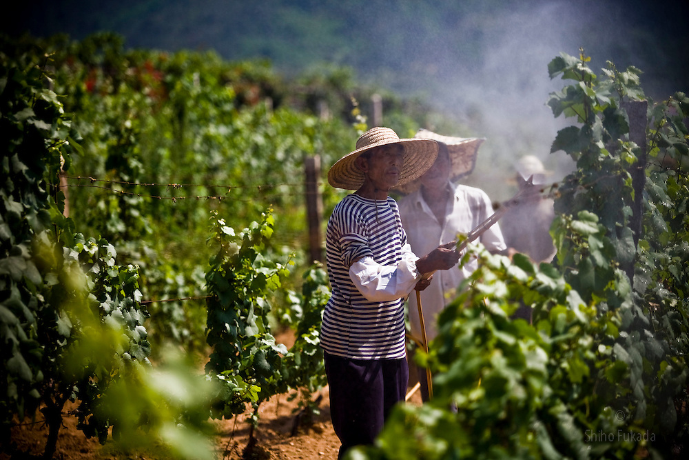Farmers work in the Huadong Winery in Qingtao, China, June 23, 2009.