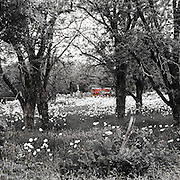 "A meadow filled with white flowers is viewed through the trees in black & white with an old red trailer highlighted in color pop. NOTE: Click ""Shopping Cart"" icon for available sizes and prices. If a ""Purchase this image"" screen opens, click arrow on it. Doing so does not constitute making a purchase. To purchase, additional steps are required."