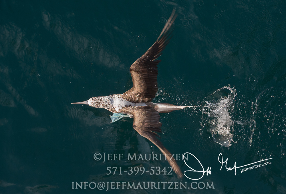A Blue-footed booby takes flight from the Pacific ocean near the Galapagos islands of Ecuador.