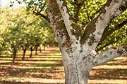 """Barcelona"" Hazelnut trees"
