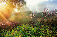 Perennial border, Actaea simplex Atropurpurea Group, grasses, sedum, persicaria