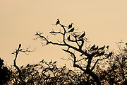 Magnificent Frigatebirds (Fregata magnificens) get shelter in tree branches while day lights fall off. Pacheca Island, Las Perlas Archipelago, Panama, Central America.