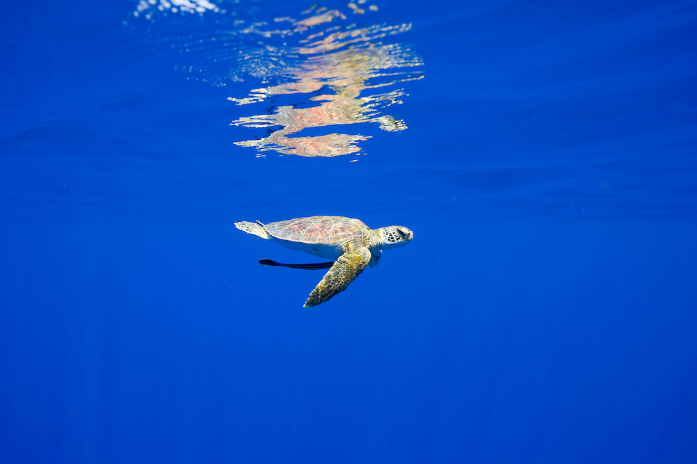 USA, Hawaii, Big Island, Underwater view of small endangered Green Sea Turtle (Chelonia mydas)  swimming with small Remora in Pacific Ocean