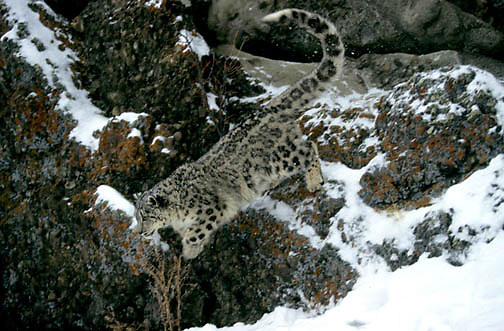 Snow Leopard, (Panthera uncia) Inhabits Himalaya mountains, Asia. Leaping from rock ledge.  Captive Animal.