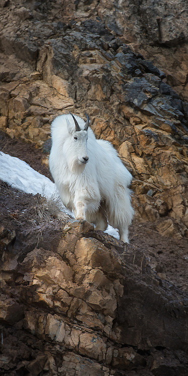 Mountain Goat alert for danger in the Snake River Canyon near Jackson Hole, WY.