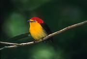 Wire-tailed manakin<br />Pipra filicauda<br />Amazon Rain Forest, ECUADOR. South America<br />RANGE; E Ecuador, ne Peru, S Venezuela & W Amazonia Brazil