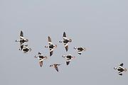 Buffleheads, Bucephala albeola, males chasing female, Saginaw Bay, Michigan