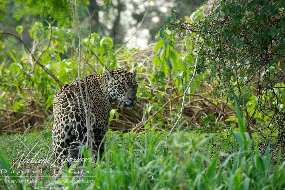 Jaguar, Wild and free roaming animal,  Pantanal, Brazil.