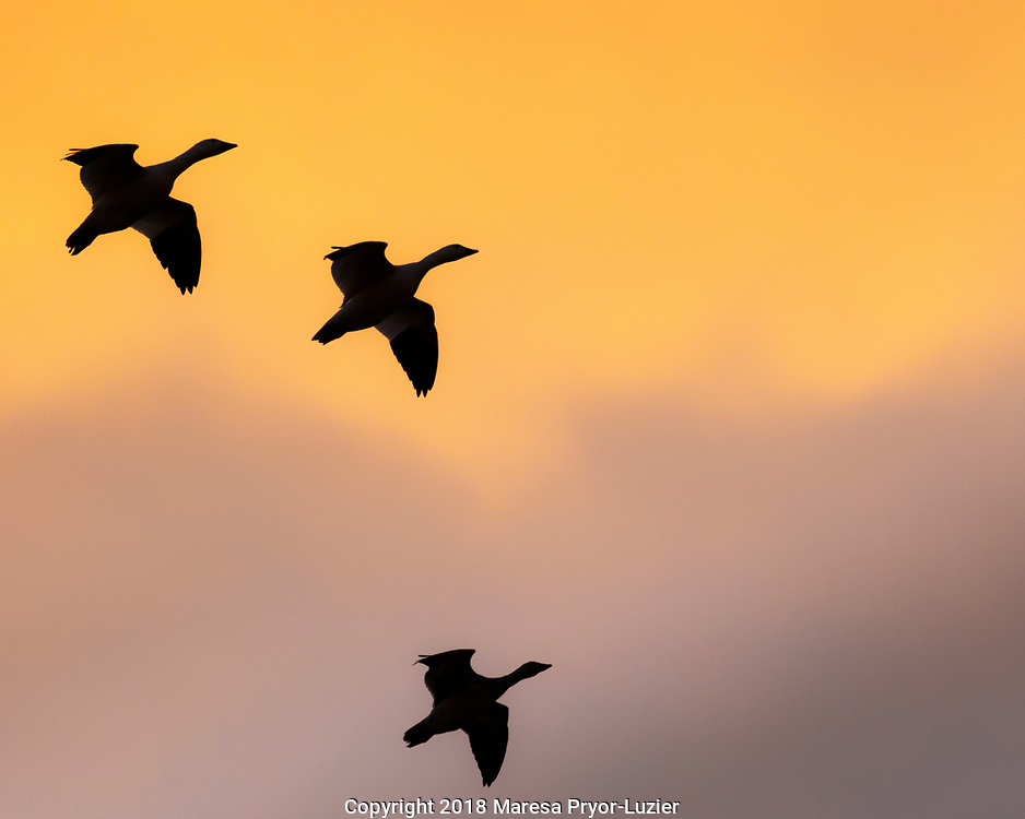 Geese in flight, Bosque del Apache NWR, NM