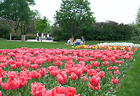 Minneapolis, MN - May 9, 2004 Springtime tulips erupt in the Lyndale Harriet Rose Gardens in Minneapolis, Minnesota.  Showcasing 3,000 plants in 100 different varieties, the Lyndale Park Rose Garden is the second oldest public rose garden in the United States