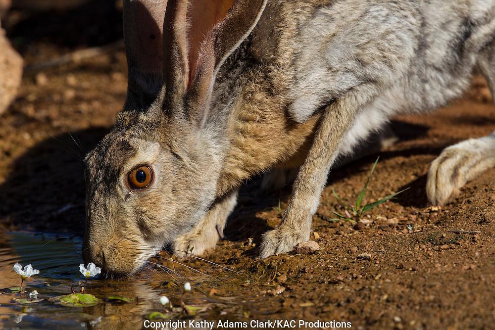 Antelope jackrabbit; Lepus alleni; drinking water, Sonoran Desert; Arizona, Summer