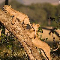 Africa, Kenya, Masai Mara Game Reserve, Young male (Panthera leo) biting tail of another while climbing tree