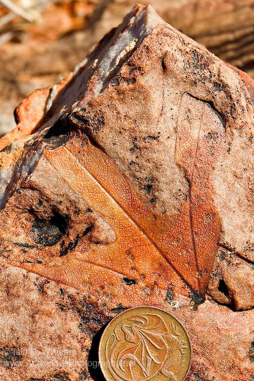 Middle Eocene Silcrete Fossil Leaf (Malvaceae brachychiton) - South Australia