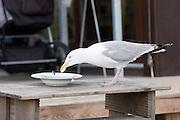 Sansibar. Seagull feeding on leftovers.
