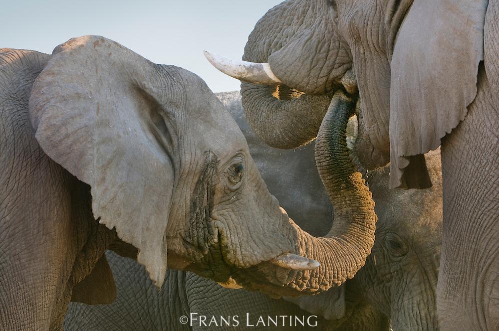 Elephants, Loxodonta africana, Etosha National Park, Namibia